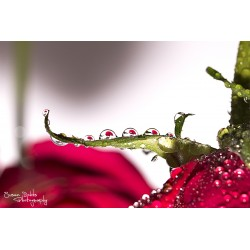 Red Rose Droplets