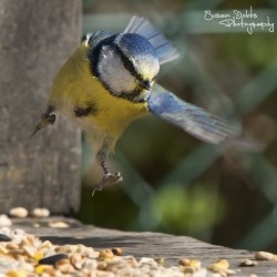 Blue Tit Swooping Down