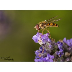 Hoverfly (2)