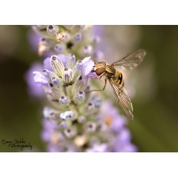 Hoverfly (3)